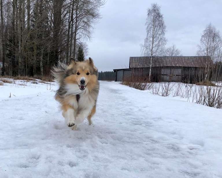 Seppo-koira juoksee lumessa